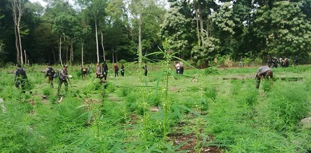 Bos Ganja Asal Aceh Yang Tewas Ternyata Punya Ladang 10 Hektare