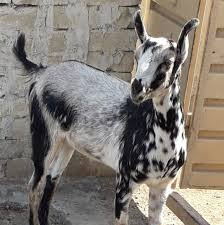 Barbari Goat Images, Milk, Weight, Size, Characteristics, Breed, Price