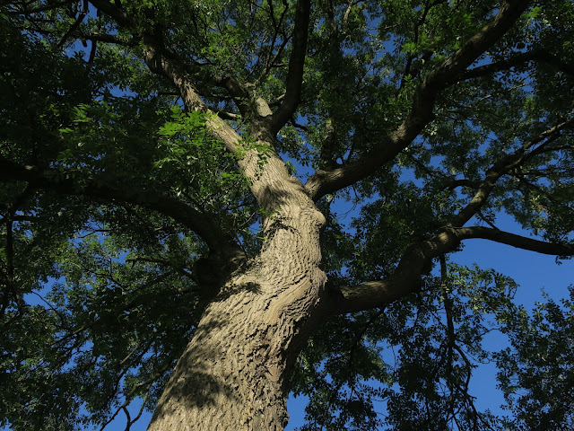 Looking up into the ash tree.