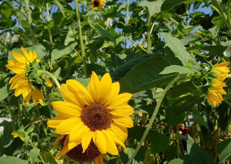 Sunflowers on Parking Strip