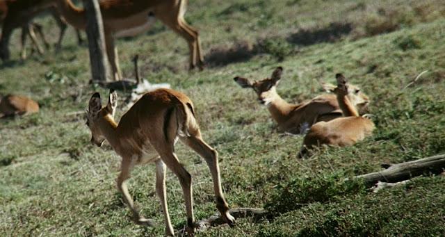 Африканский бэмби, документальный фильм о природе, обернутый семейной историей