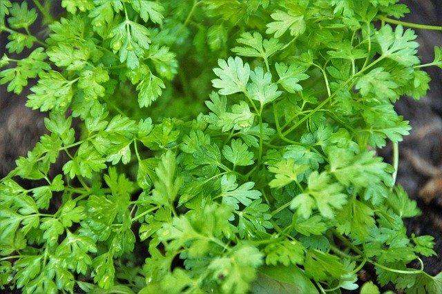 manfaat daun seledri untuk kesehatan