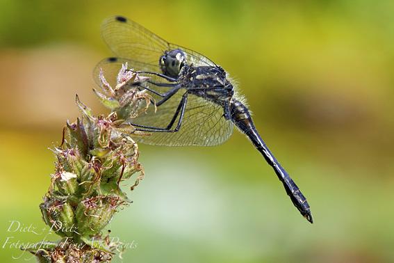 Schwarze Heidelibelle (Sympetrum danae)