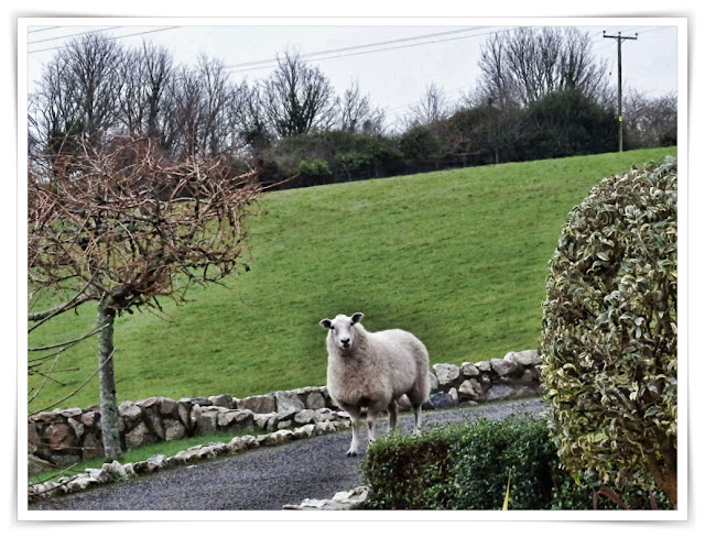 One lost sheep in a house driveway in Cornwall