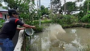Kebutuhan Pakan Lele 1000 Ekor Sampai Panen Yang Harus Di Siapkan