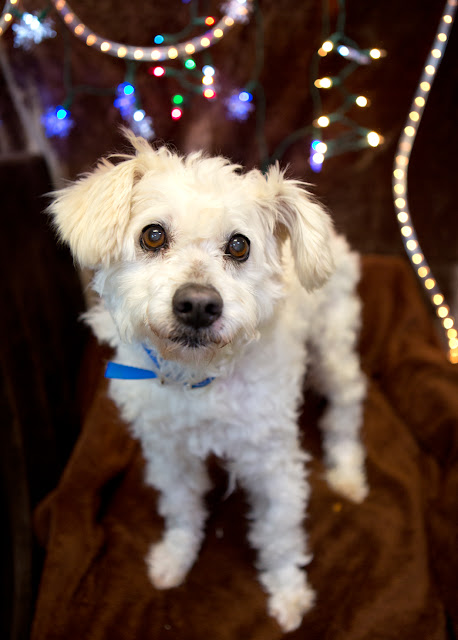 "KRINGLE"" friendly older gentleman Poodle mix"