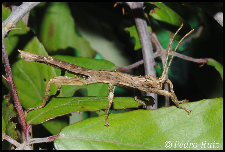 Ninfa hembra L1 de Haaniella grayii, 3 cm de longitud