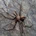 Conheça a aranha capaz de apodrecer a carne humana com uma picada