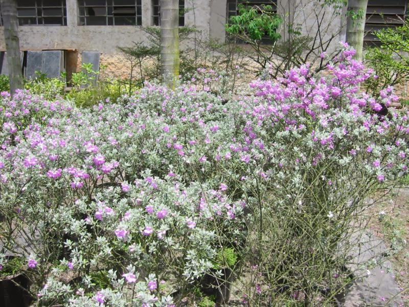 Meliponário Jardim Chuva de Prata (Leucophyllum frutescens)