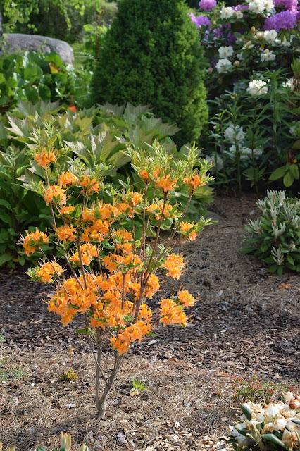 Flame azalea