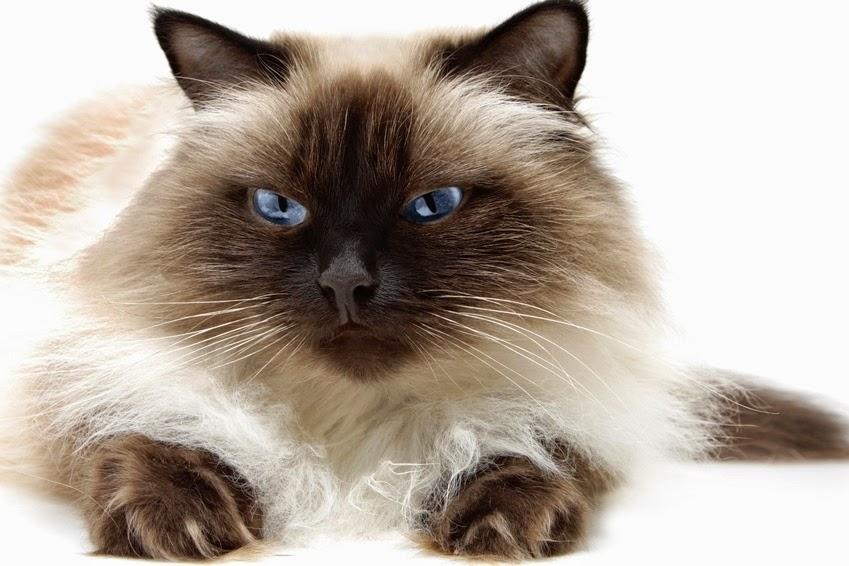 Harga Makanan Kucing Persia Yang Bagus