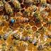 استمع إلى صوت ملكة النحل لأول مرة The voice of the queen bee