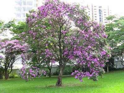 árvore_manaca_da_serra_florido_no_jardim