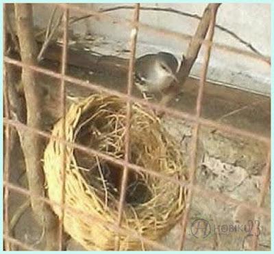 Burung Ciblek dikala ini sanggup dipastikan merupakan burung yang sulit dicari Tips Cara Praktis Ternak Ciblek di Rumah