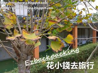 西貢蕉坑獅子會自然教育中心銀杏樹