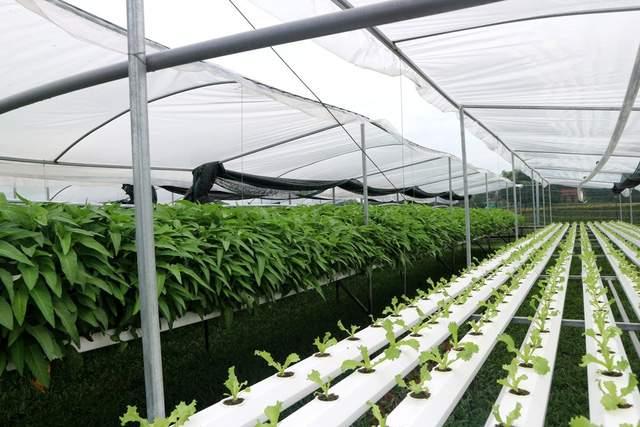 Bỏ phố về quê, đôi bạn trẻ trồng rau thủy canh mang lại hiệu quả cao - Ảnh 3