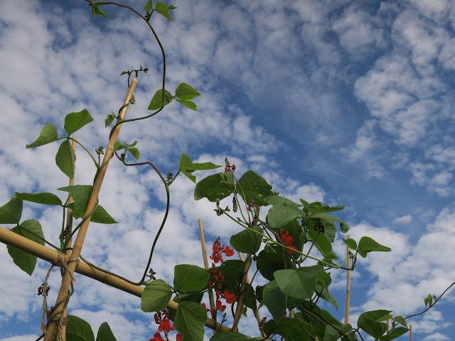 Runner beans on poles with slightly mackerel sky