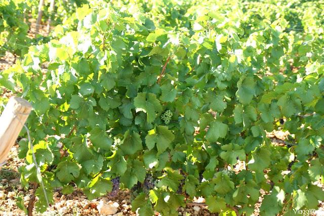 Particolari delle viti di Beaune