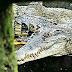 Penangkaran Buaya Asam Kumbang