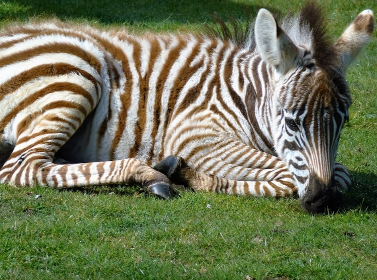 Zebra foals are born with brown and white stripes.
