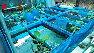 Menyiapkan Tempat Budidaya Ikan Hias
