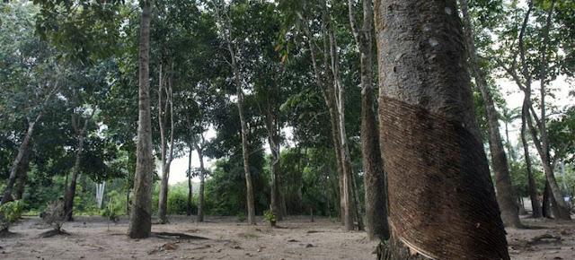 Árboles de hule en la selva amazónica brasileña.ONU/Eskinder Debebe