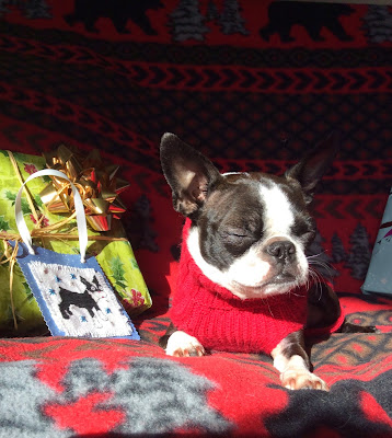 Sinead the Boston terrier and her presents