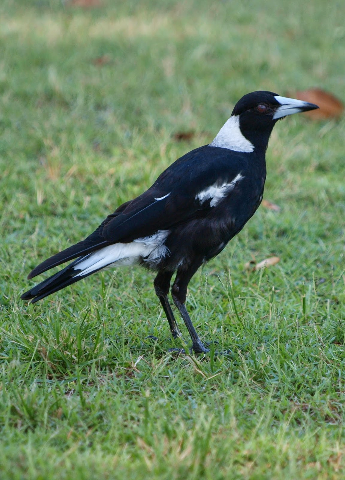 birding the costa: 7. Goodbye, Australia - photo#26