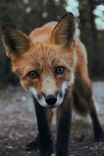 A close-up of a red Alaskan Fox, with a little white on its face. Photo by Sunyu on Unsplash.