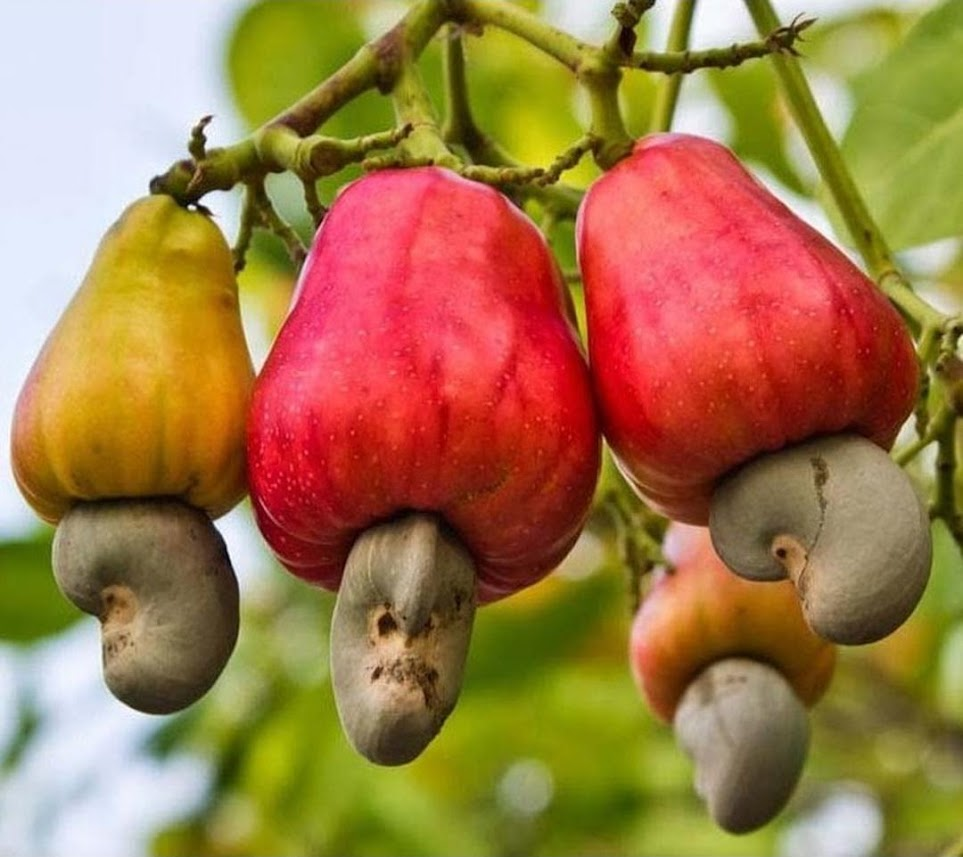 Benih buah jambu monyet 3 seed Blitar