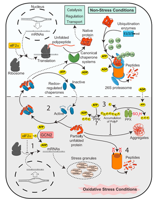 stes oksidatif, kerusakan protein, degradasi protein
