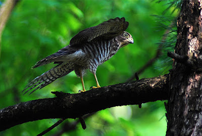 The Japanese Sparrowhawk is a successful hunter, and all of its features need to be in place and working from the start. This fact defies evolution.