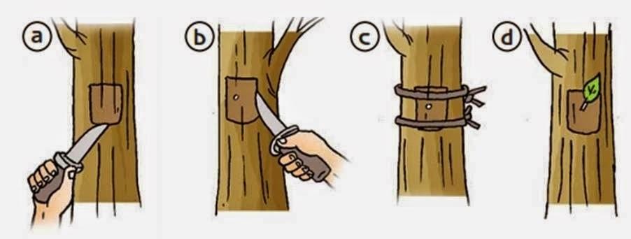 Cara Mencangkok Menempel Dan Menyambung Tanaman