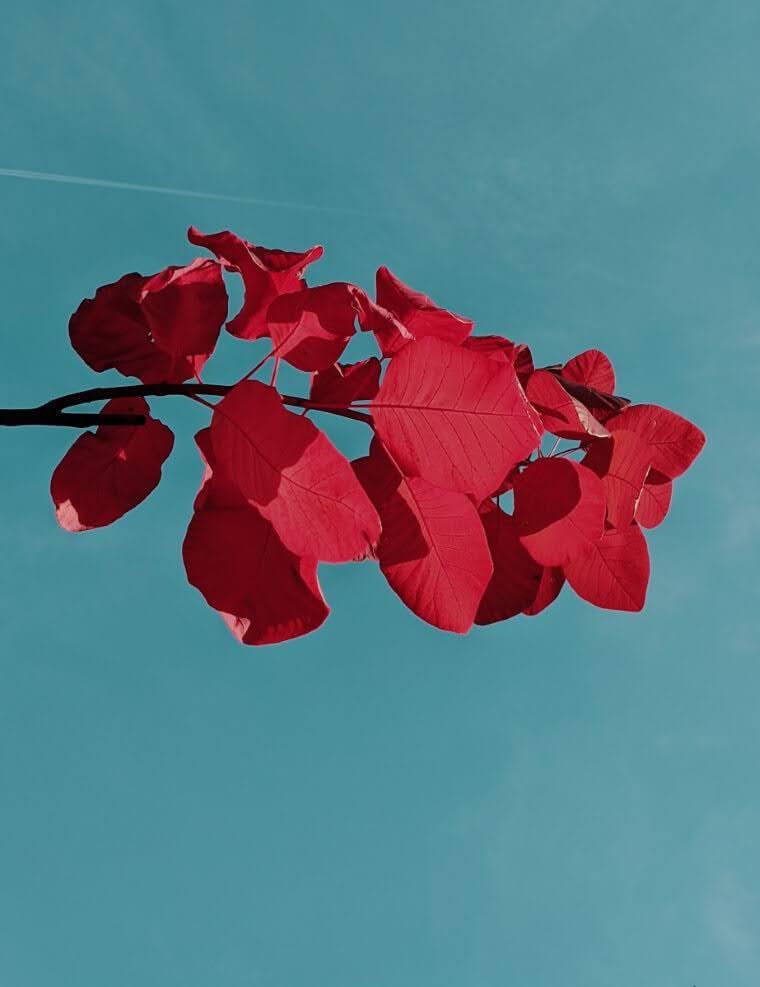 Read leaves against clear blue sky | cardboardcities