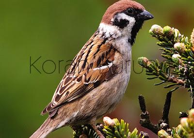 Burung andalan para kicau mania untuk memaster burung gacoan dikarenakan burung gereja mem Pola Rawatan Yang Tepat Untuk Burung Gereja Agar Cepat Nyecret Gacor