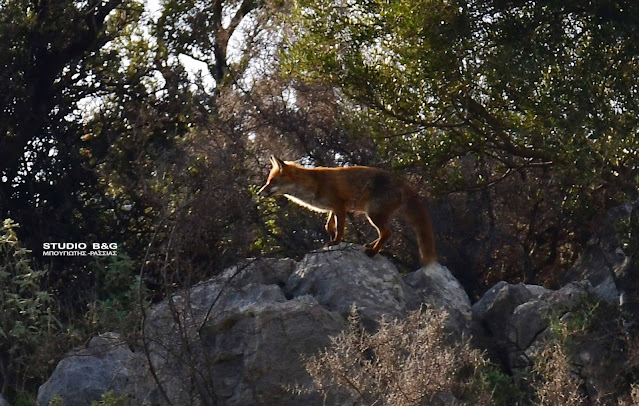 Η φωτογραφία της ημέρας: Η αλεπού - Όσα δεν ξέρουμε για την παμπόνηρη Μαριώ...