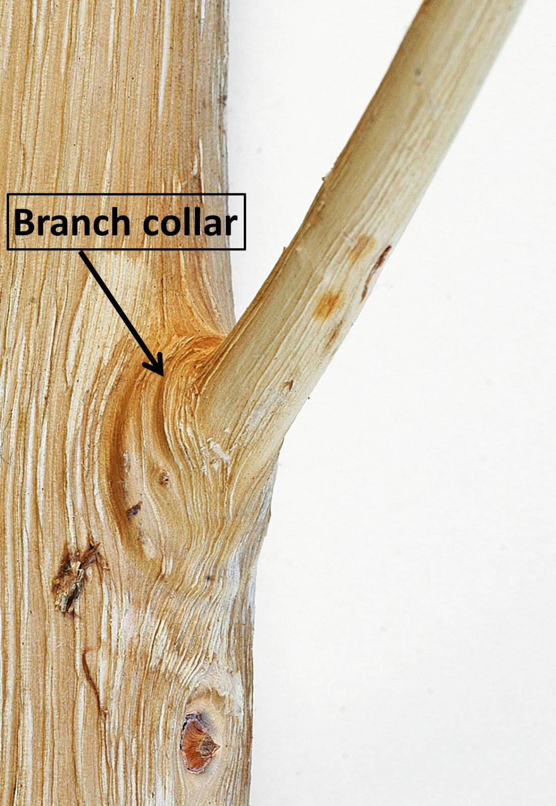 Northern Pecans: Anatomy of the branch collar