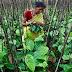 Ινδία: 400.000 εργάτες στις φυτείες τσαγιού απεργούν για αύξηση 40 σεντς την ημέρα