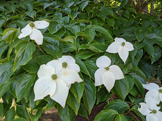 the dogwood tree in my backyard, a pleasant sight this time of year