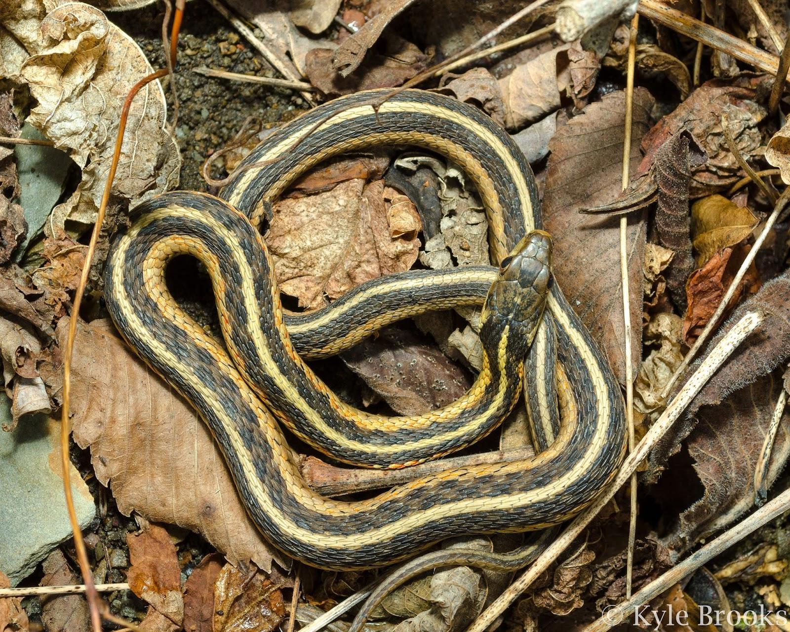 Thamnophis sirtalis Ohio