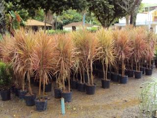 http://tukangtamankaryaalam.blogspot.com/2016/02/pohon-tricolor-tanaman-hias-tricolor.html
