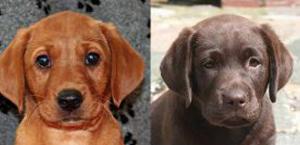 cachorros Labrador inglés
