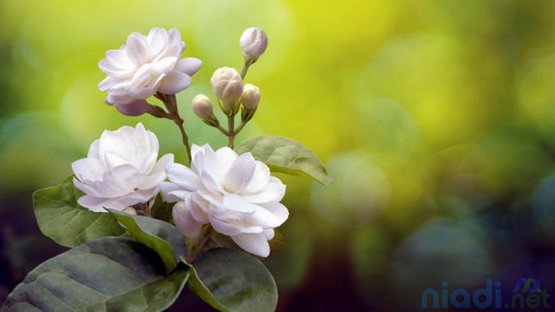 mengenal jenis bunga melati yang paling wangi