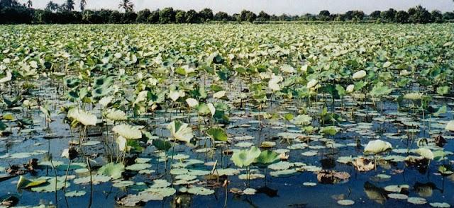 Sering Dianggap Gulma, Lotus Putih Mempunyai Nilai Bisnis Yang Cukup Menguntungkan