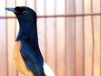 Keunikan Burung Murai yang Bikin Terpesona
