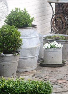 galvanized buckets with boxwood inside