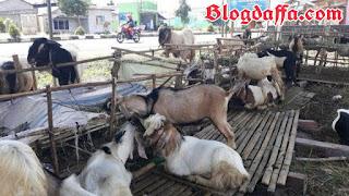 kambing merupakan salah satu hewan kurban yang dianjurkan