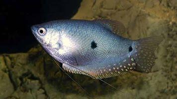 Ikan Sepat Rawa / Padi