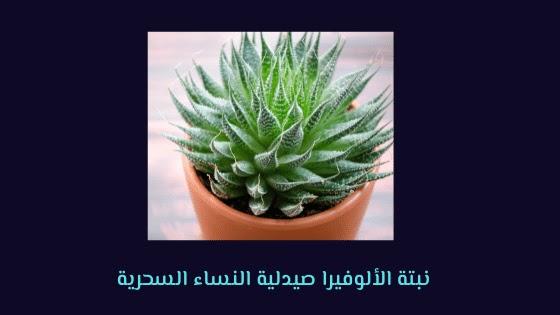نبتة الألوفيرا صيدلية النساء السحرية
