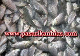 Harga Bibit Ikan Nila Super Per Ekor